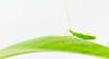 Bright green assasin bug nymph (meisterphotos) Tags: macro green eye closeup bug insect leaf natural legs beak nobody copyspace magnified predator nymph arthropoda antennae metamorphosis carnivore proboscis rostrum entomology assasin predatory abdomen segmented reduviidae predaceous piercer mounthparts benificalnature