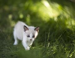 Ruby3 (TaylorB90) Tags: dog pet pets 3 max cute grass animal animals cat canon mammal happy prime kitten play mark iii sharp molly 5d ruby 135mm 135l taylorbennett 5d3