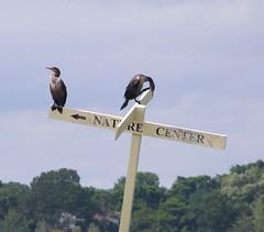 2013_0808Cormorants0002 (maineman152 (Lou)) Tags: bird nature water river maine august scarborough cormorant marsh waterfowl saltmarsh dunstanriver
