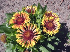 ** Les gaillardes ** (Impatience_1(retour progressif)) Tags: flower fleur m gaillardia blanketflower impatience coth supershot thegalaxy gaillarde 100commentgroup coth5