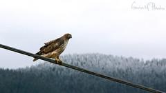 IMG_6677 (gavinmichie16) Tags: snow mountains bird wire hawk watching