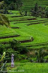 In the midst of peace (Prayudi Hartono) Tags: bali ricefield pura sawah jatiluwih