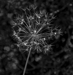 Allium Seed Head - Black and White (bvi4092) Tags: blackandwhite bw plant flower nature photoshop pod nikon noiretblanc blossom head seed seedhead bloom nikkor allium seedpod d300s 18105mmf3556 nikon18105mmf3556