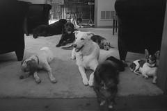 blackandwhite dog chihuahua film 35mm canine domesticated bluetick canislupusfamiliaris