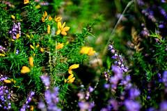 Exmoor Colours (pigpogm) Tags: green yellow purple photos heather nationaltrust exmoor gorse takumar50f14 winsfordhill mxpp