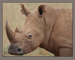 White Rhino cow (Rainbirder) Tags: kenya whiterhinoceros ceratotheriumsimum nairobinationalpark grassrhinoceros rainbirder