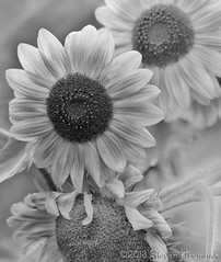 Sunflower - B&W (GAPHIKER) Tags: flowers hope berries farm sunflower pickyourown rasberries longmeadow blairstown sunflowerfield longmeadowfarm rt521