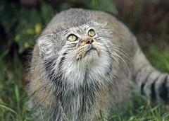 WHF KENT (paulre) Tags: flickrbigcats elementsorganizer