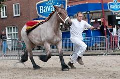 DSC_5399 (Ton van der Weerden) Tags: horses horse de cheval nederlands belges draft chevaux belgisch trait gemert trekpaard trekpaarden fokpaardendag renatevandegrens