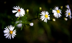 Be Yourself (Off The Beaten Path Photography) Tags: flowers wild nature daisies digital outdoors nikon wed daisy growingwild nikond7000