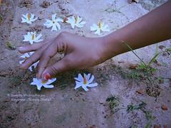 Heavenly Touch (Sanhita Bhattacharjee/সংহিতা ভট্) Tags: autumn india flower sony getty gettyimage tripura phool ফুল ত্রিপুরা শিউলি শারদীয়া শরৎ শেফালী sanhitabhattacharjee beautifultripura nightjesmine shiuliphool