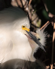 Snowy Egret with Chick (Bill McBride Photography) Tags: baby bird nature canon mom eos rebel orlando nest feeding florida snowy wildlife mother may chick parent fl juvenile egret avian nesting xsi egrettathula 100400 2013 ef100400l 450d flfloridanaturewildlife