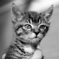 New Youngster in the Hood (@noutyboy (Instagram)) Tags: portrait bw baby white black holland cute nature netherlands monochrome animal closeup fauna cat canon eos kitten kat europe utrecht dof zwartwit sweet young nederland thenetherlands natuur 28 youngster dier f28 lief nieuwegein 550 500x500 1755mm nout 550d detaills eos550d noutyboy