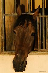 Cautividad (Juan M. S.) Tags: caballo establo mamfero