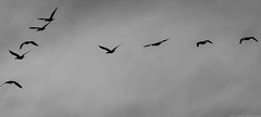 With The Birds, I'll Share (Jessie Chaisson) Tags: light sky white black jessie birds clouds dark photography flying nikon dramatic 300mm sombre chaisson