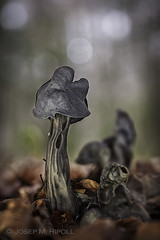 Helvella sulcata (JM Ripoll) Tags: forest mushrooms spain bosque fungus funghi pilze wald svamp mycology osca pilz champignons setas fong bosc foresta fungo bolets broto micologia mikologia onddo mycologie parcnacionaldordesaimontperdut pilzkunde helvellasulcata foraoise etiquetaboletsflickr helvellas