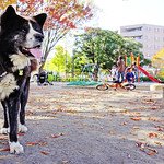 Akita Dog, Taro in The Park / 秋田犬 thumbnail
