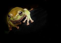 Whites Tree Frog (Mark Eastment) Tags: pet pets nature animal wildlife amphibian frog treefrog whitestreefrog