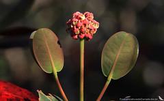 Byrsonima umbellata (M. Kuhlmann) Tags: cerrado malpighiaceae biomacerrado byrsonimaumbellata muricidobrejo