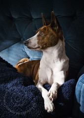 "1.12a Raisin ""Cold Comfort"" (jezandia) Tags: dog basenji raisin 12monthsfordogs14"