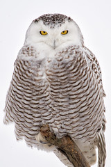 Close Encounter (D.Leslie) Tags: winter ontario canada canon snowy owl hfg