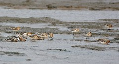 Snow Buntings. (stonefaction) Tags: nature birds forest point scotland fife wildlife estuary eden faved tentsmuir