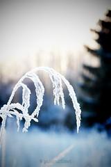 silhouetted against the sun IV (polaroidized) Tags: winter sunlight backlight vinter frost hoarfrost silhouettes backlit talvi siluett huurre rimfrost