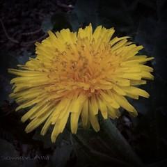Sam photographer (سامر اللسل) Tags: me rose follow jeddah followme البحرين منصوري عمان تصويري جدة الباحه مصور الطائف فوتوغرافي الجنوب {flickrandroidapp}:{filter}=none {vision}:{outdoor}=0815 {vision}:{sky}=0606 {vision}:{plant}=096 {vision}:{flower}=0703