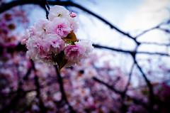 sakura (AL WAHAIB) Tags: flower japan nikon 桜 sakura 東京 ساكورا ورد نيكون طوكيو d7000