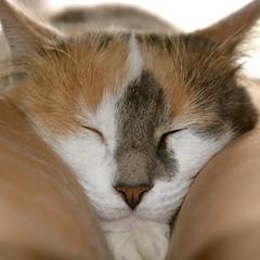 Mimi at Home (bertrandwaridel) Tags: brown white black home cat mimi sofa tricolor asleep