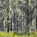 Pond Pine (Pinus serotina)