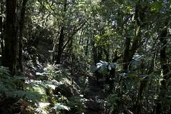 Canarian jungle (ramosblancor) Tags: naturaleza nature bosques forests laurisilva laurelforest exuberancia exuberance botánica botany subtropical macizodeanaga tenerife islascanarias canaryislands invierno winter