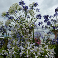 Agapanthus P1230789mods (Andrew Wright2009) Tags: hyde hall rhs royal horticultural society show essex england uk flowers plants garden cultivated agapanthus blue white