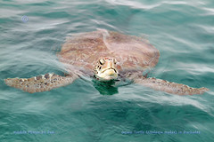 Green Turtle (Chelonia mydas) (Jud's Photography) Tags: greenturtle turtle barbados cheloniamydas