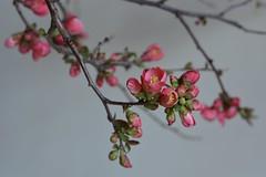 DSC_0687 (karencherry57) Tags: chaenomeles floral flowerfarm