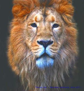 Lion Eyes......