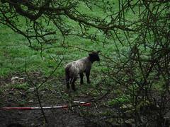 Lamb (StaircaseInTheDark) Tags: yorkshire england uk britain greatbritain unitedkingdom northernengland walking outdoors countryside rural sheep lambs babyanimal animals animal spring northyorkshire