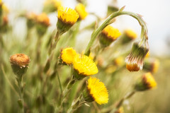 Coltsfoot. (5300foto) Tags: coltsfoot hoefblad natuur nature bokeh yellow 2017 nikon primotar meyeroptik 50mm d750 macro closeup