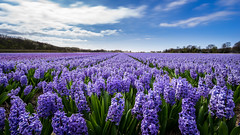 A lot of them (miguel_lorente) Tags: blue country netherlands flowers purple day green clouds sky field