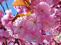Glorious, luxurious blossom (zinnia2012) Tags: blossom flowers pink beautiful fullbloom zinnia2012 fleur flora