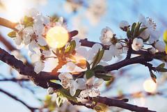 Spring (Sareni) Tags: sareni serbia srbija vojvodina banat juznibanat alibunar blossem blossems cvet grana branche light svetlost sky nebo colors boje spring prolece march 2017 twop sun sunce