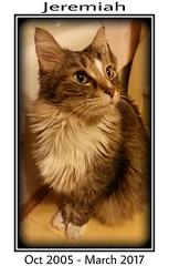 Jeremiah, My Little Guardian (Lisa Zins) Tags: jeremiah inmemory mainecooncat mainecoon cat feline petsympathy sympathy