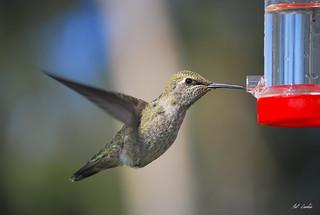 Hummingbird 016 --- EXPLORED