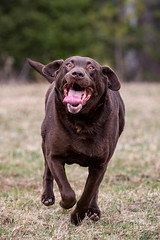 Our Wild Guy (jenna.lindquist) Tags: funnyfaces funnyface funny dog dogsarefamily funnydog running sprinting tongue chocolatelab chocolatelabrador labrador labradorretriever actionshot actionphotography canon5dmarkiii canon70200f28lll