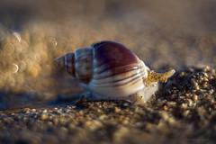 bubble machine (gnarlydog) Tags: seashell snail beach bubbles bokeh shallowdepthoffield refittedlens helios89frommikron halfframe russianlens australia adaptedlens closeup detail abstract warmlight manualfocus sand water