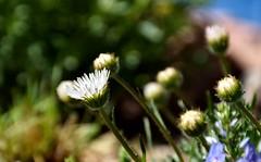 Backyard beauty (Kerstin Winters Photography) Tags: bokeh flower blume backyardflowers gartenblume closeup macro detail nikondsl nikondigital nikon nikkor d5500 outdoor landscape flora green gruen colors colorado flickr flickrnature naturaufnahme nahaufnahme gaenseblume