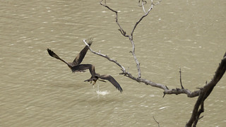 Black Kites (Milvus migrans) fighting for a feed!!!