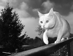 Felis imperialis catus (carlosdeteis.foto) Tags: carlosdeteis galiza galicia cats gatos jatos blancoynegro blackandwhite