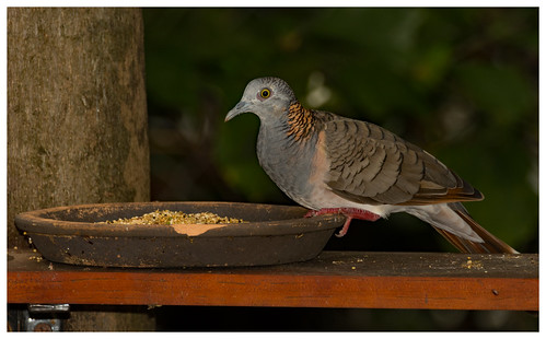 Bar-Shouldered Dove (Geopelia humeralis) (28 centimetres).