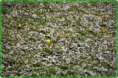 Zurich, April 2017: A Very Capricious Spring (4) (Ioan BACIVAROV Photography) Tags: grass snow flower bacivarov ioanbacivarov bacivarovphotostream interesting beautiful wonderful wonderfulphoto nikon journalism photojournalism